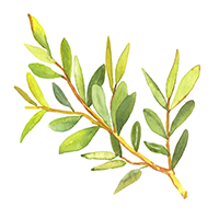 Tea Tree Essential Oil (FP 120*F)